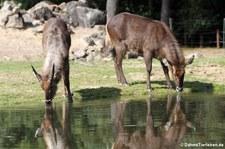 Ellipsenwasserböcke (Kobus ellipsiprymnus ellipsiprymnus) im Burgers' Zoo, Arnheim
