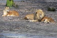 Löwe (Panthera leo) im Burgers Zoo, Arnheim