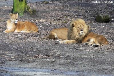 Löwen (Panthera leo)
