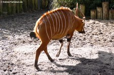 Östlicher Bongo (Tragelaphus eurycerus isaaci) in Burgers Zoo, Arnheim