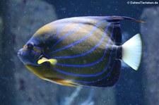 Ringkaiserfisch (Pomacanthus annularis) im Aquarium Berlin