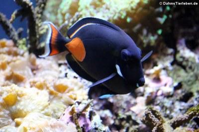 Achilles-Doktorfisch oder Orangen-Doktorfisch (Acanthurus achilles)