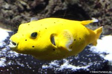 Schwarzflecken-Kugelfisch (Arothron nigropunctatus) im Aquarium Berlin