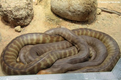 Woma-Python (Aspidites ramsayi)