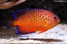 Rotbrauner Zwergkaiserfisch (Centropyge ferrugata) im Aquarium Berlin