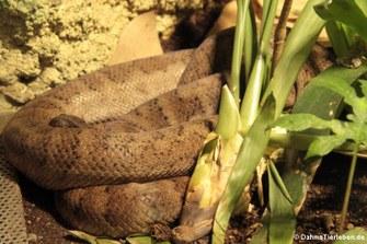 Puerto-Rico-Boa (Chilabothrus inornatus)