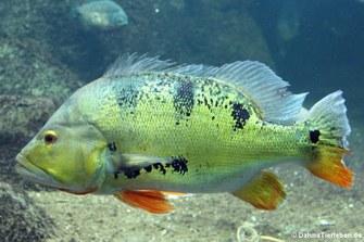 Grüner Augenfleck-Kammbarsch (Cichla ocellaris)