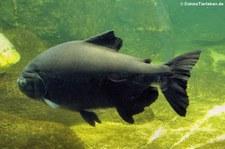 Schwarzer Pacu (Colossoma macropomum) im Aquarium Berlin