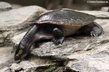 Rotbauch-Spitzkopfschildkröte (Emydura australis) im Aquarium Berlin