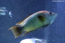 Stülpmaullippfisch (Epibulus insidiator) im Aquarium Berlin