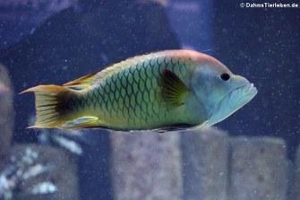 Stülpmaullippfisch (Epibulus insidiator)