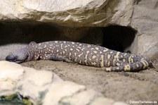 Skorpion-Krustenechse (Heloderma horridum) im Aquarium Berlin
