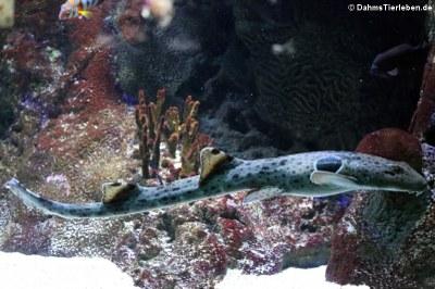 Epaulettenhai (Hemiscyllium ocellatum)