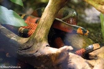 Honduras-Königsnatter (Lampropeltis triangulum hondurensis)