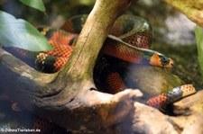 Honduras-Königsnatter (Lampropeltis triangulum hondurensis) im Aquarium Berlin