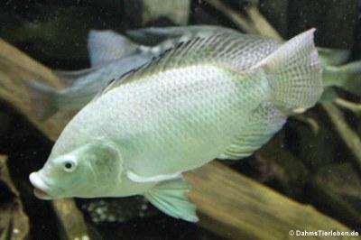 Nil-Tilapia (Oreochromis niloticus)