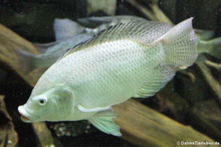 Oreochromis niloticus
