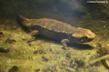 Chinesischer Warzenmolch (Paramesotriton chinensis) im Aquarium Berlin