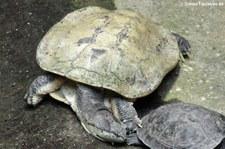 Krötenkopfschildkröte (Phrynops hilarii) im Aquarium Berlin