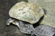 Helle Krötenkopfschildkröte (Phrynops hilarii) im Aquarium Berlin