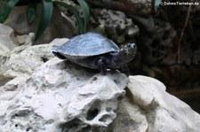 Terekay-Schienenschildkröte (Podocnemis unifilis) im Aquarium Berlin