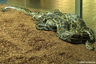 Dunkler Tigerpython (Python bivittatus bivittatus)