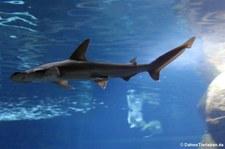 Schaufelnasen-Hammerhai (Sphyrna tiburo) im Berlin Aquarium
