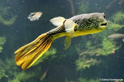 Goldringel-Kugelfisch (Tetraodon mbu)