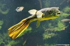Goldringel-Kugelfisch (Tetraodon mbu) im Aquarium Berlin