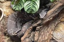 Mexikanische Mokassinottern (Agkistrodon bilineatus) im Tierpark Berlin