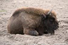 Wisent (Bison bonasus) im Tierpark Berlin