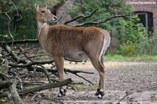 weibliche Nilgau-Antilope (Boselaphus tragocamelus) im Tierpark Berlin