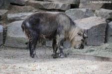 Sichuan-Takin (Budorcas taxicolor tibetana) im Tierpark Berlin