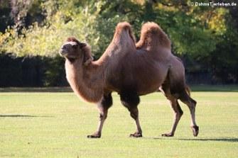 Trampeltier (Camelus ferus f. bactrianus)