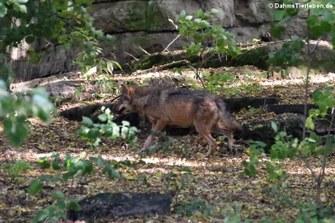 Iberischer Wolf (Canis lupus signatus)