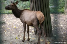 Wapiti (Cervus canadensis manitobensis) im Tierpark Berlin