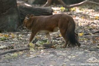 Kiangsi-Rothund (Cuon alpinus lepturus)