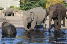 Asiatische Elefanten im Tierpark Berlin