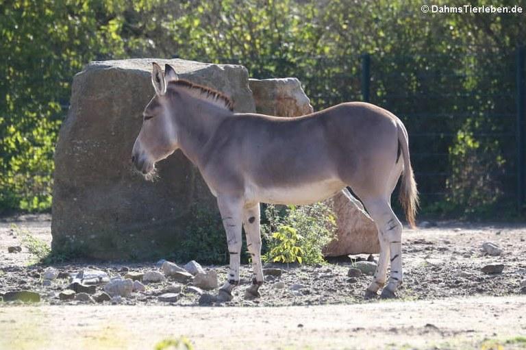 Equus africanus somaliensis