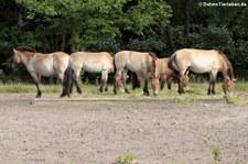 Przewalski-Pferd (Equus ferus przewalski) im Tierpark Berlin-Friedrichsfelde