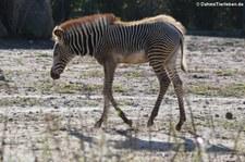 Junges Grevyzebra (Equus grevyi) im Tierpark Berlin