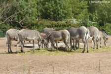 Grevyzebra (Equus grevyi) im Tierpark Berlin
