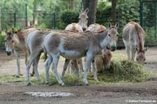 Kulan oder Kulan oder Turkmenischer Halbesel (Equus hemionus kulan) im Tierpark Berlin