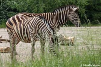 Chapman-Zebra (Equus quagga chapmani)