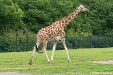 Rothschildgiraffe (Giraffa camelopardalis rothschildi) im Tierpark Berlin