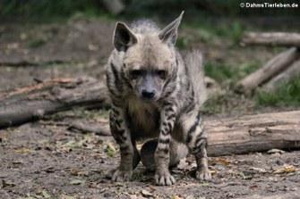Arabische Streifenhyäne (Hyaena hyaena sultana)
