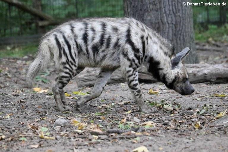Hyaena hyaena sultana