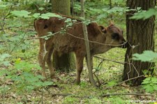 Junger Kaukasus-Zebu (Bos primigenius f. taurus) im Tierpark Berlin