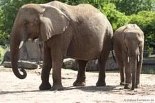 Afrikanische Elefanten (Loxodonta africana) im Tierpark Berlin