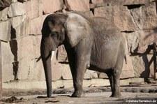 Afrikanischer Elefant (Loxodonta africana) im Tierpark Berlin